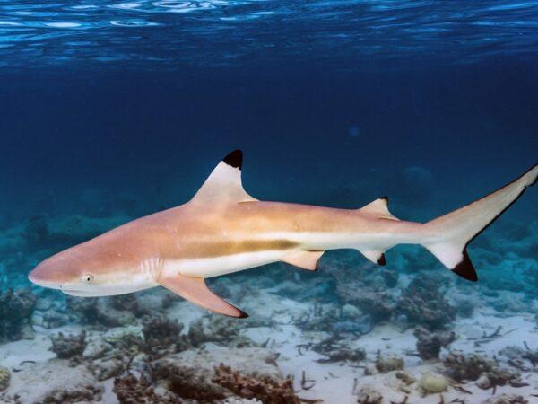 Жир печени акулы